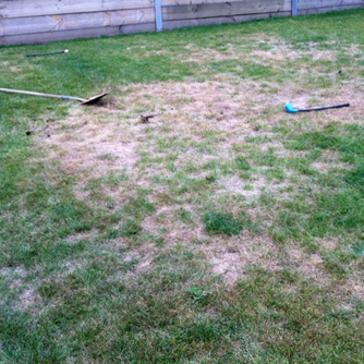 Damaged lawn caused by curl grub