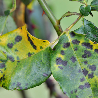 Black Spot on rose leaves