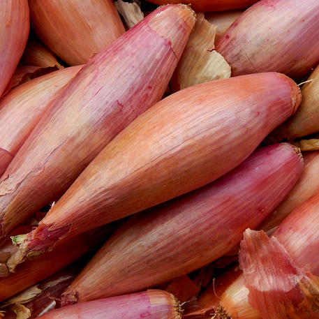 BANANA SHALLOT (French Echalion) (6 Bulbs)