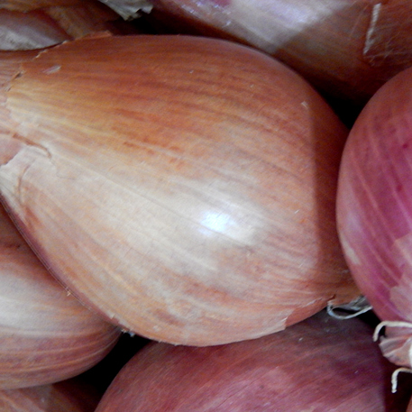 MAMMOTH GOLDEN (Shallot)