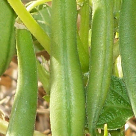 stringless dating Bean, burpees stringless green pod is rated 37 out of 5 by 25 rated 1 out of 5 by katstup from disappointed my retailer didn't have the.