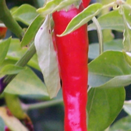 CAYENNE LONG THIN