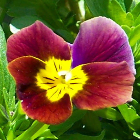 VIOLA - EDIBLE MIX
