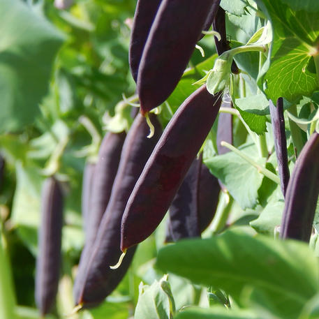 PURPLE PODDED (LSP)