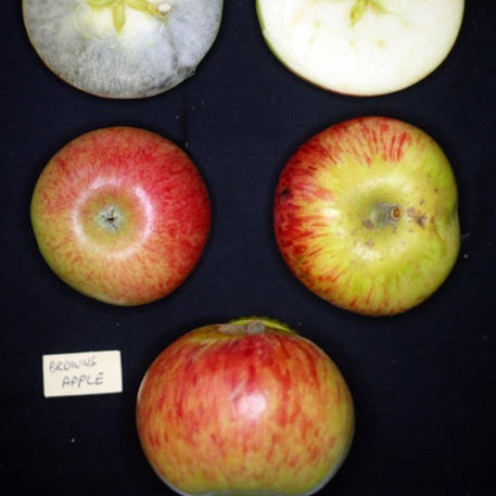 BROWNS APPLE (Scion)