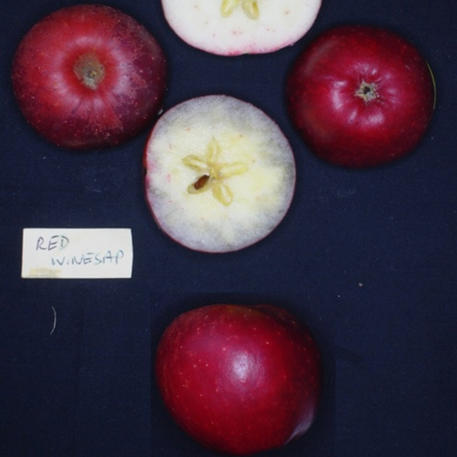 RED WINESAP (Scion)