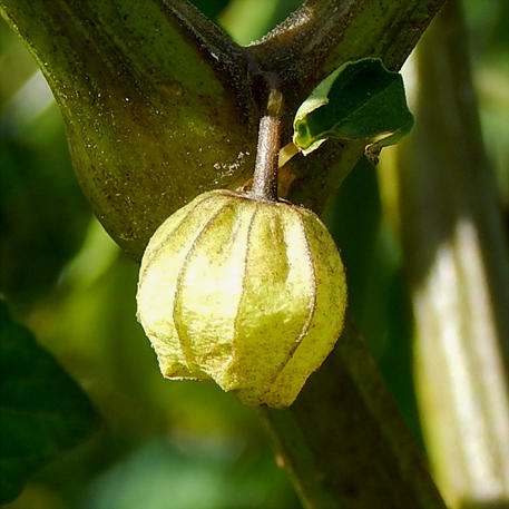 CAPE GOOSEBERRY - GOLDEN NUGGET