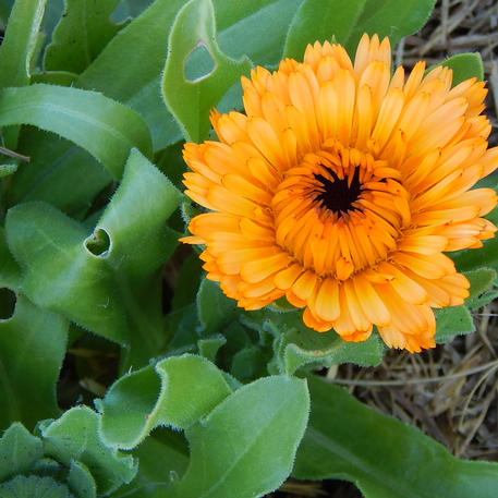 CALENDULA - EDIBLE MIX 0.005kg (5g)