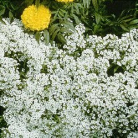 ALYSSUM - Carpet of Snow