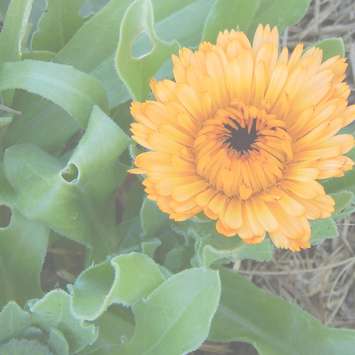 CALENDULA - EDIBLE MIX 0.01kg (10g)